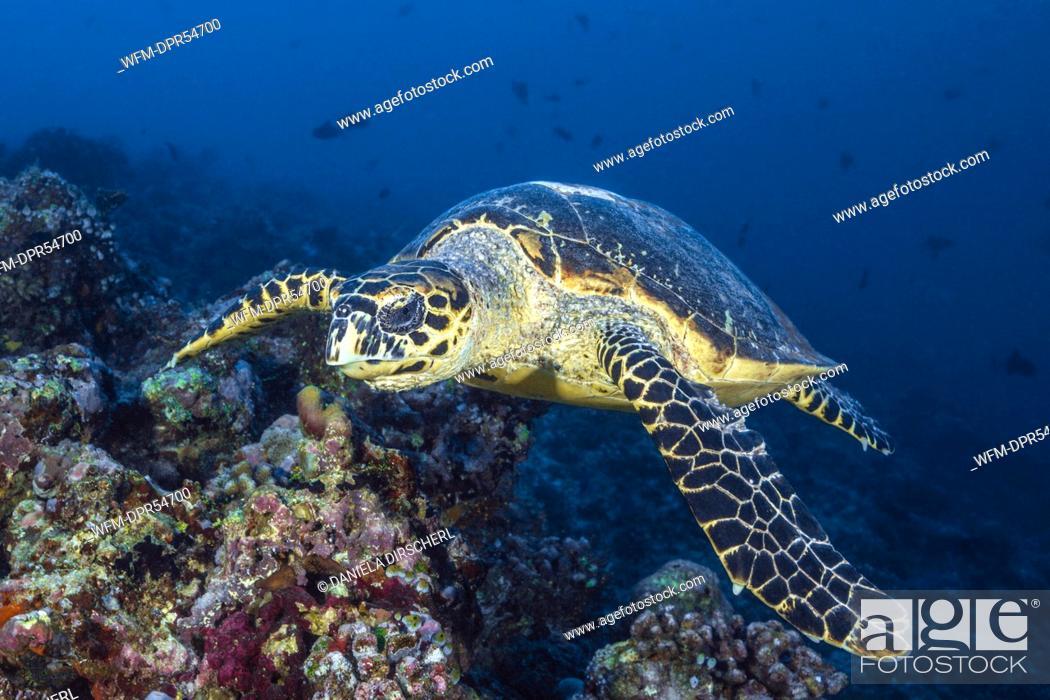 Stock Photo: Hawksbill Sea Turtle, Eretmochelys imbricata, South Male Atoll, Maldives.