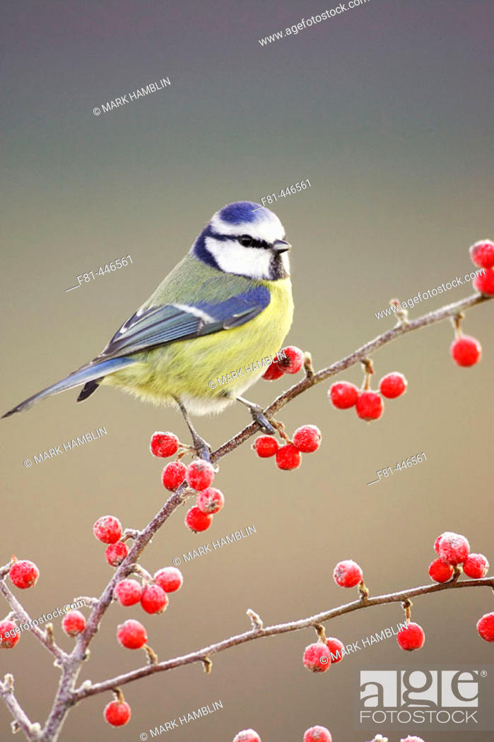 Stock Photo: Blue Tit (Parus caeruleus) perched on red cotoneaster berries in frost. Scotland.
