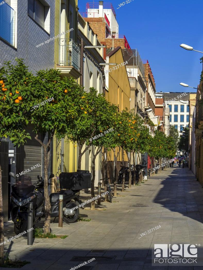 Stock Photo: Orange trees bearing oranges on narrow street in Poble Nou district of Barcelona, Catalonia, Spain, Europe.