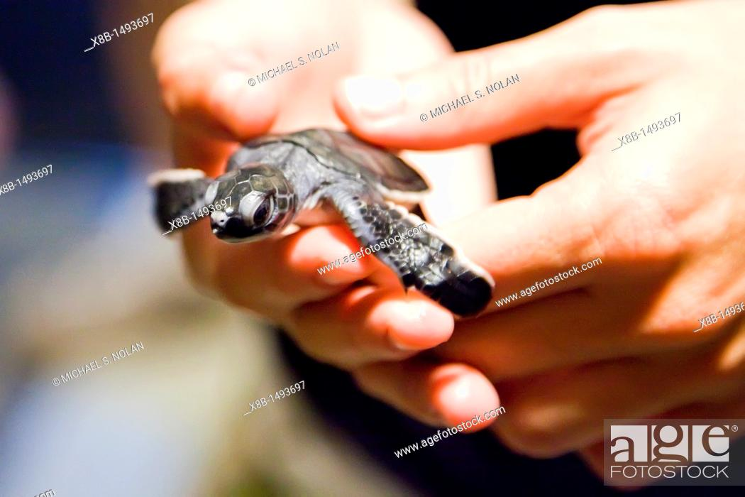 Stock Photo: Guests from the Lindblad Expeditions ship National Geographic Explorer holding a green sea turtle Chelonia mydas hatchling at night on Long Beach on Ascension.