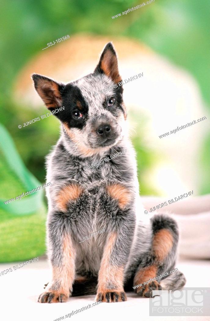 Stock Photo: dog puppy sitting.