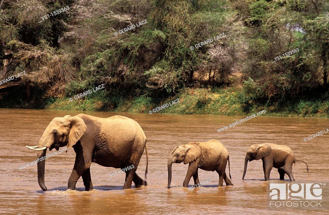 Stock Photo: African Elephant, loxodonta africana, Female with Calf crossing River, Samburu Park in Kenya.