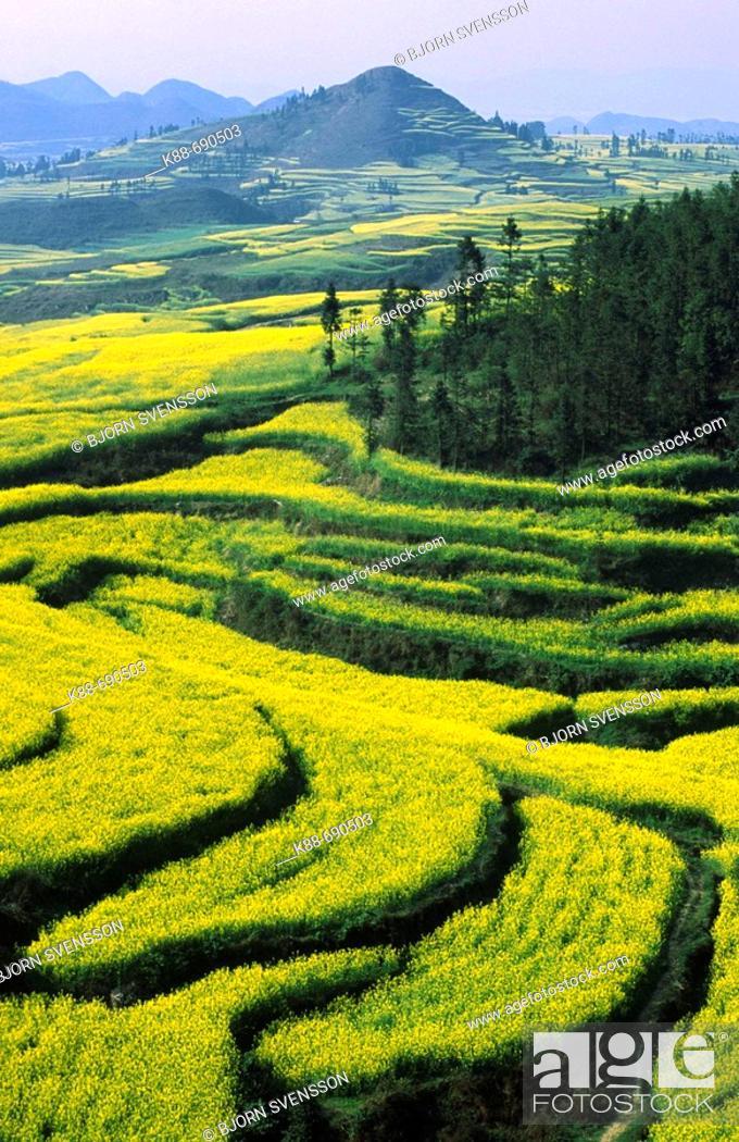 Stock Photo: Canola fields, Luoping, Yunnan, China.