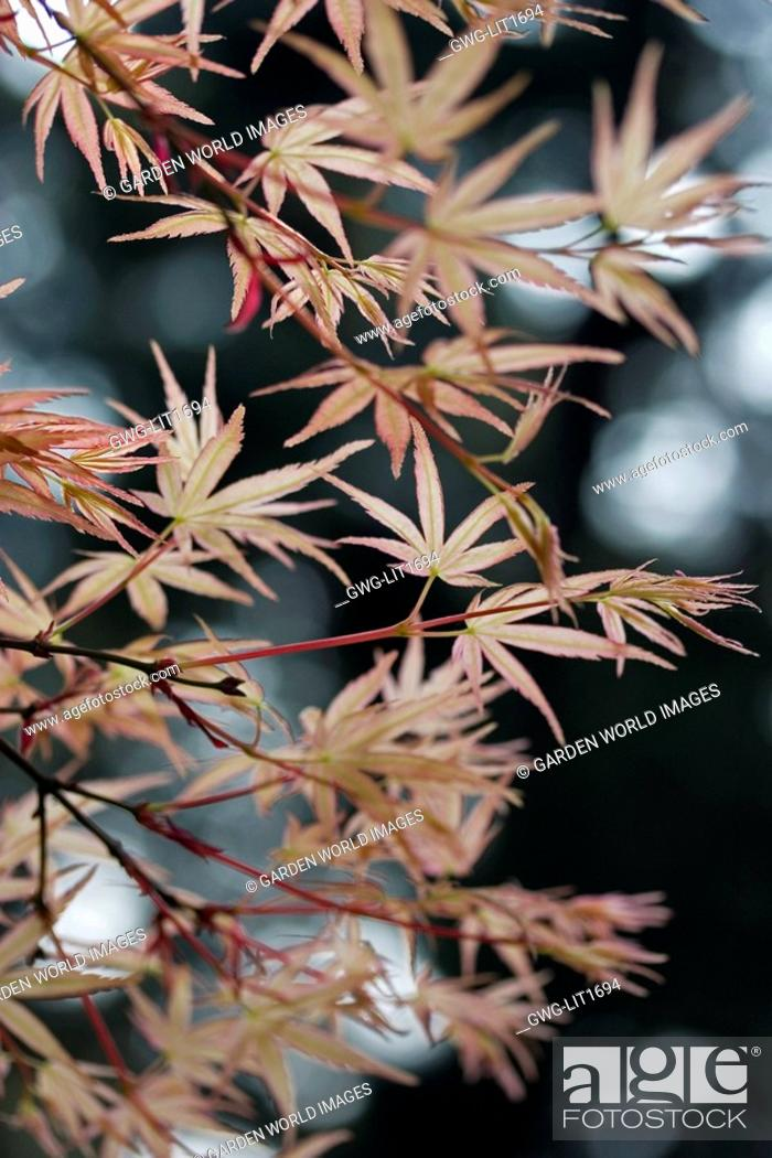 Acer Palmatum Beni Tsukasa Stock Photo Picture And Rights Managed