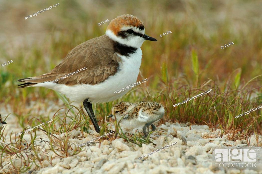 Stock Photo: Kentish Plover Charadrius alexandrinus adult male with chick, Lesvos, Greece, april.