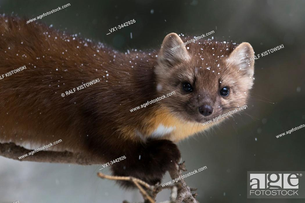 Stock Photo: Pine Marten / Baummarder / Fichtenmarder ( Martes americana ) in winter, close-up of a playful young animal climbing in a tree, Yellowstone NP, USA. .