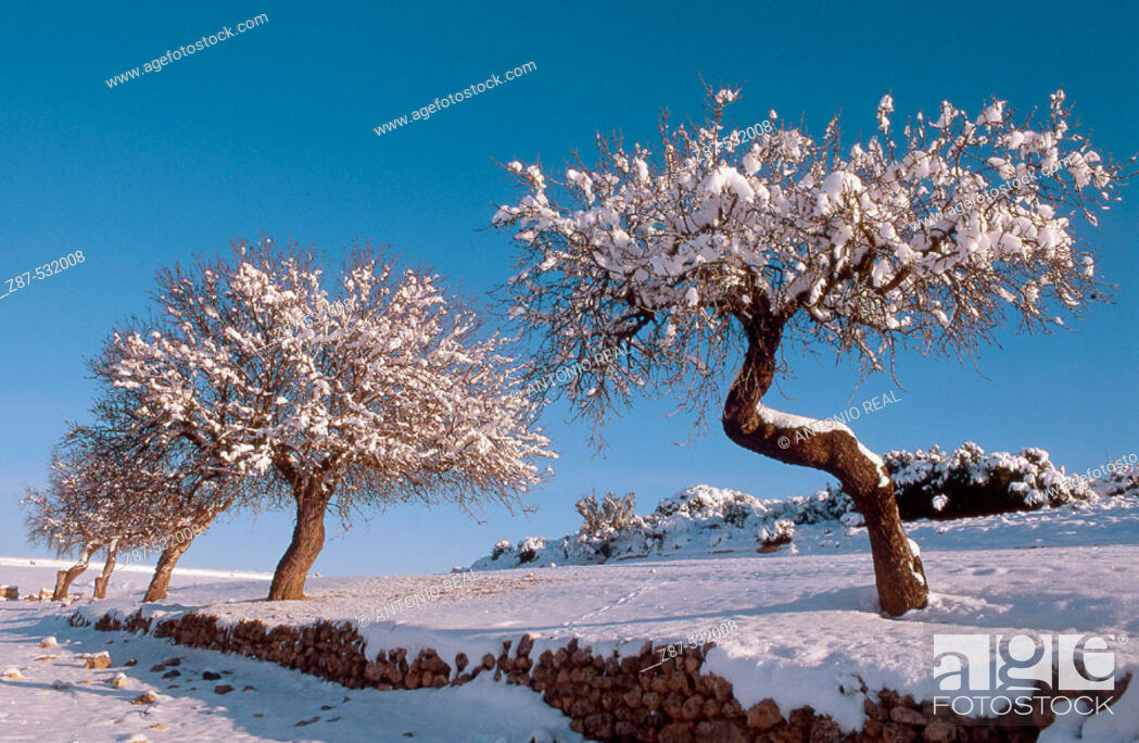 Stock Photo: Snow-covered almond trees, Almansa. Albacete, Castilla-La Mancha, Spain.