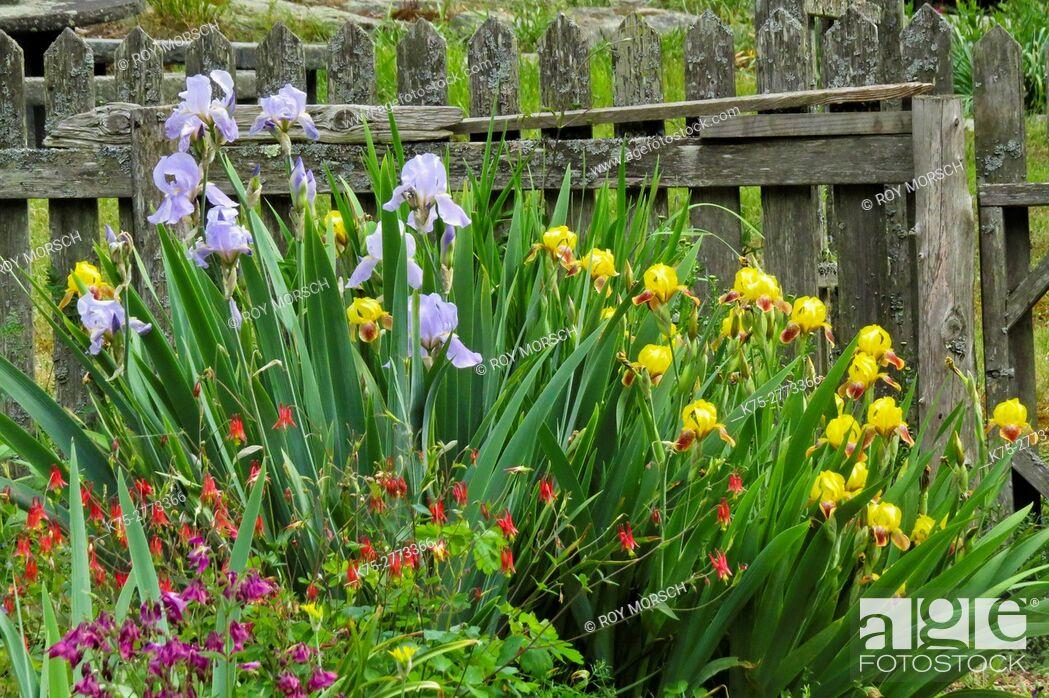 Stock Photo: columbines and irisis.
