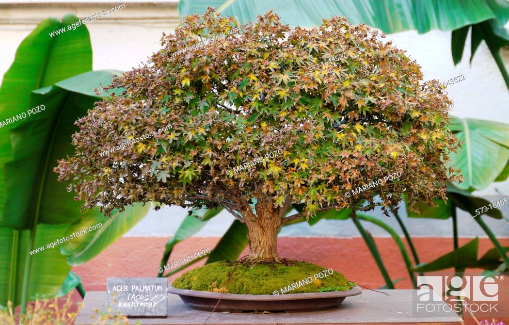 Japanese Maple Bonsai Tree Stock Photo Picture And Rights Managed