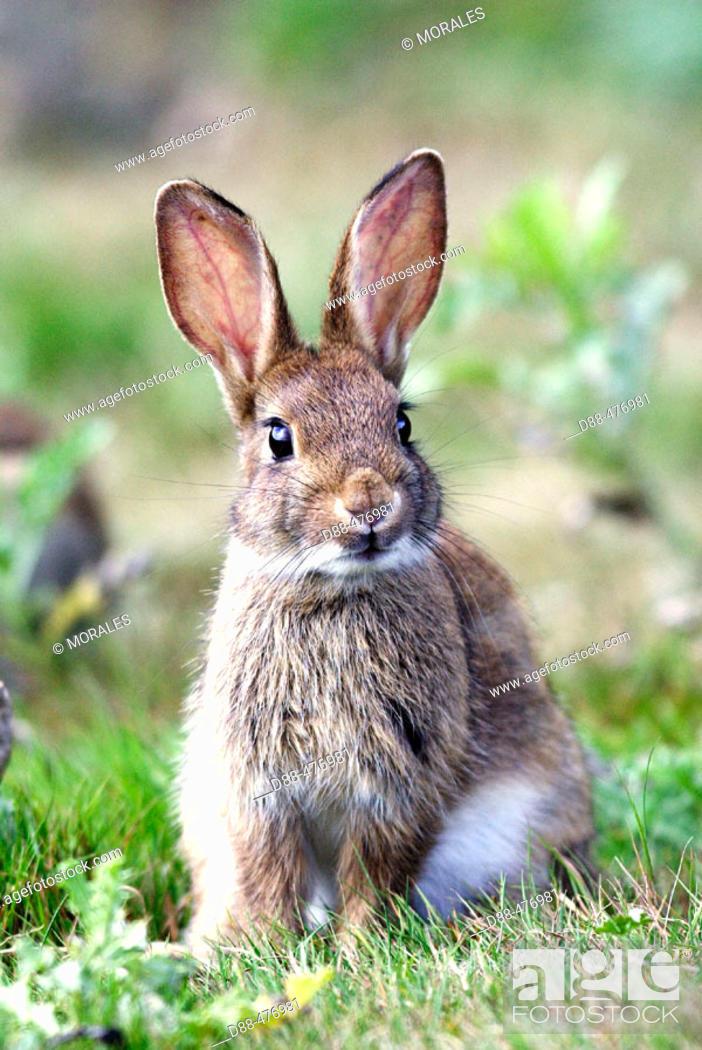 Stock Photo: Rabbit. (Oryctolagus cuniculus).