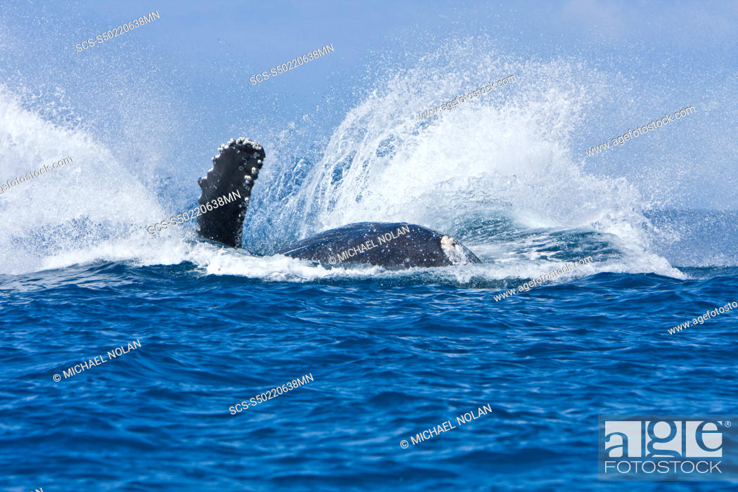 Stock Photo: Humpback whale Megaptera novaeangliae in the AuAu Channel between the islands of Maui and Lanai, Hawaii, USA Each year humpback whales return to these waters in.