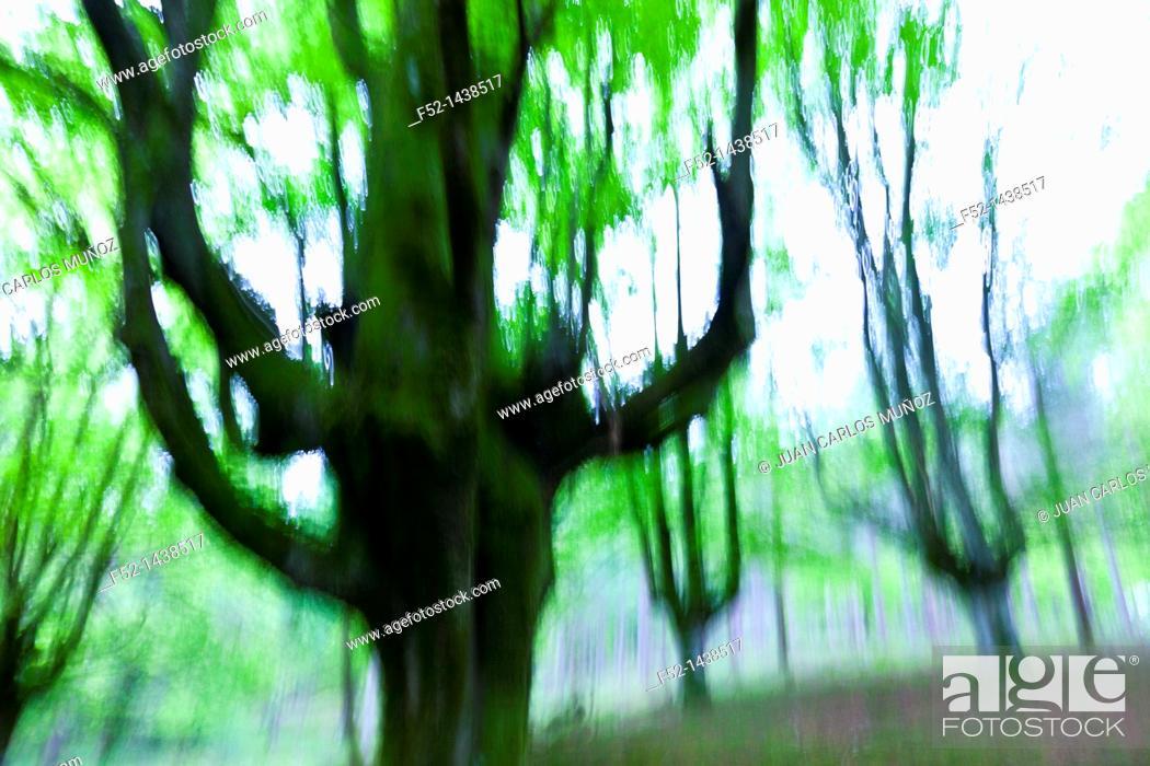Stock Photo: Beech forest Bosque de Hayas, Gorbeia Natural Park, Alava-Bizkaia, Basque Country, Spain, Europe.