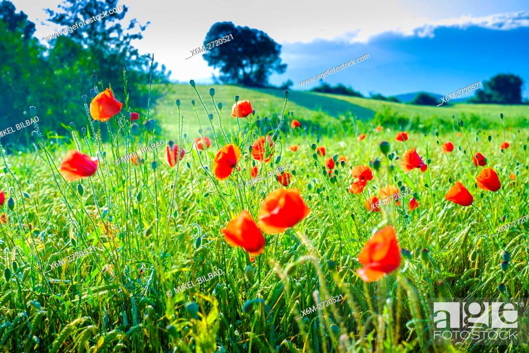 Stock Photo: Poppies on a cereal field. Ayegui, Navarre, Spain.
