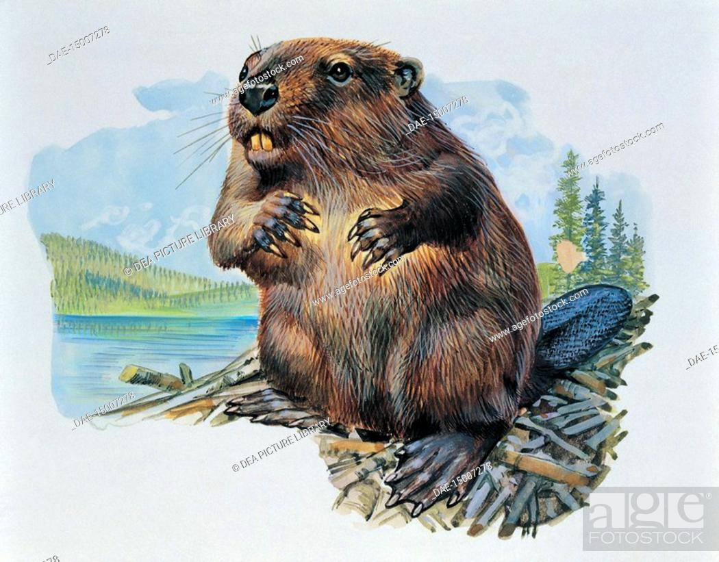Stock Photo: Zoology: Rodentia - Beaver (Castor Fiber). Art work.