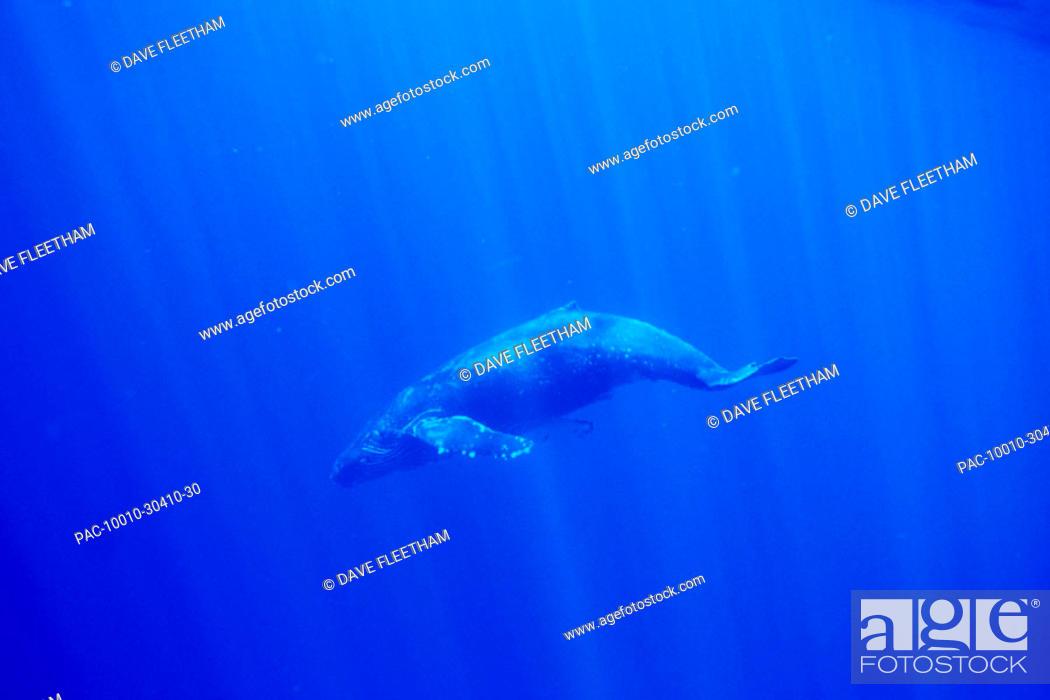 Stock Photo: Hawaii, Humpback Whale (Megaptera novaeangliae) underwater with sun rays.