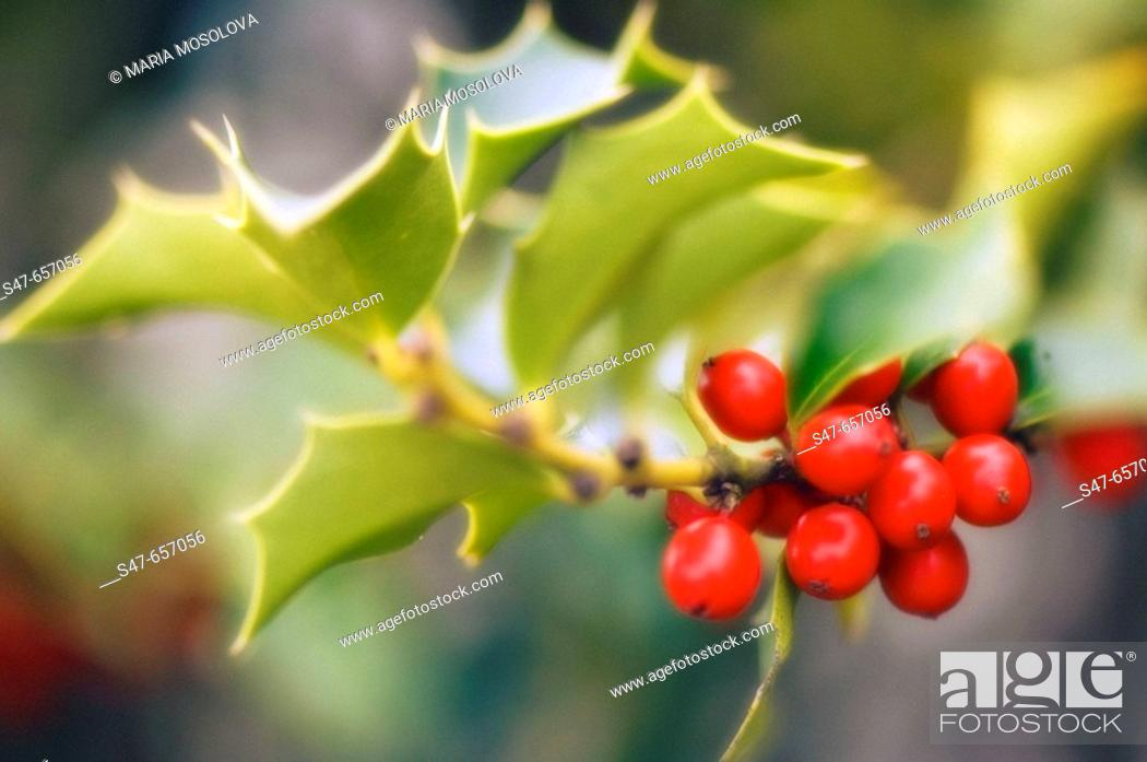 Stock Photo: Berries and Leaves of Holly Tree. Ilex aquifolium. November 2006. Maryland, USA.