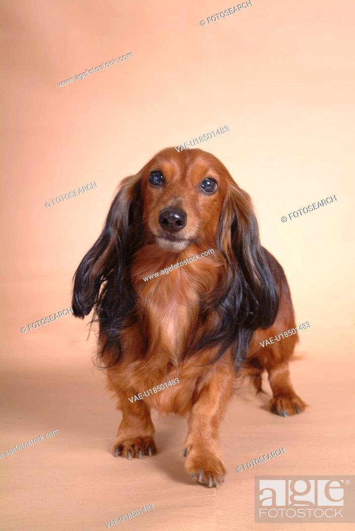 Stock Photo: canine, domestic animal, closeup, close up, looking camera, companion, dachshund.