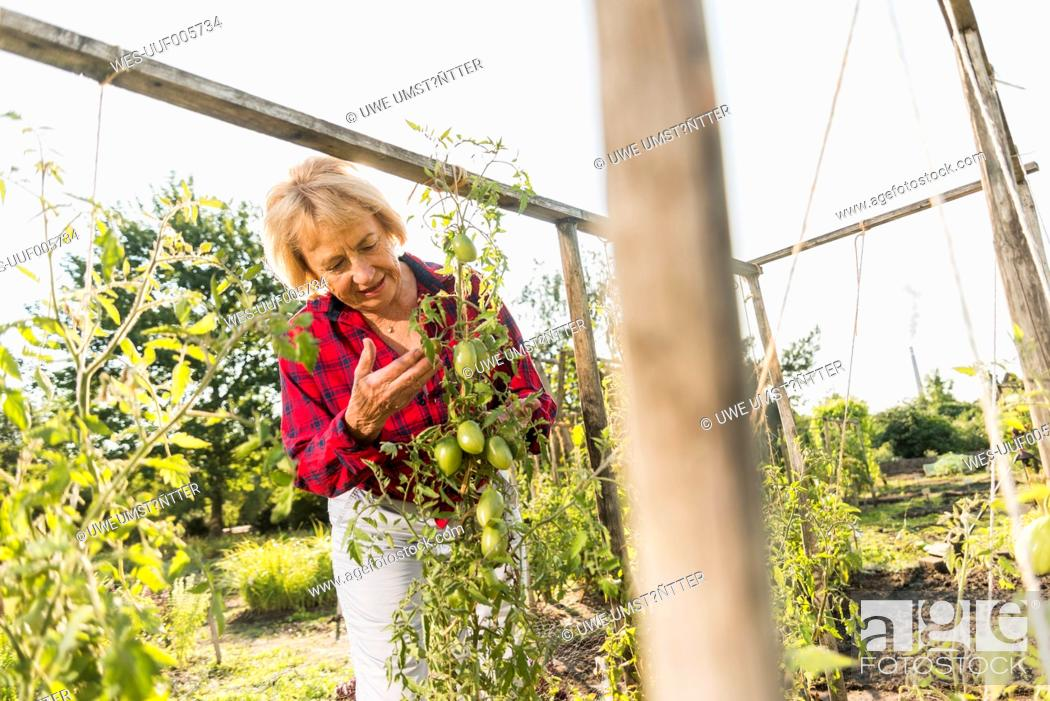 Stock Photo: Senior woman in garden looking at tomato plant.