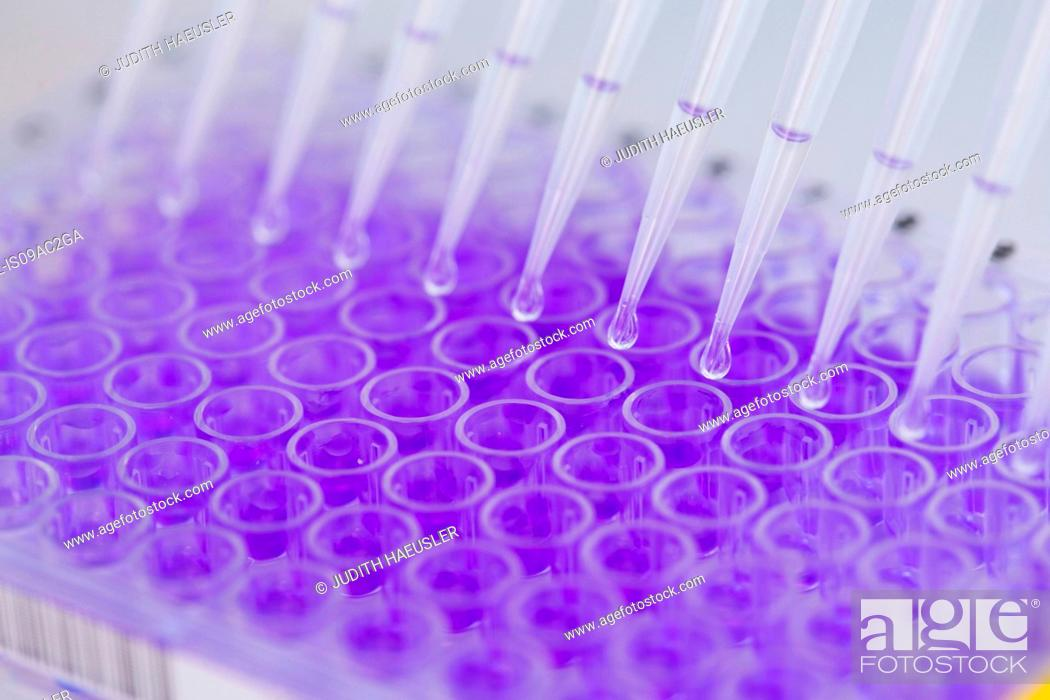 Stock Photo: Close up of 96-well microtiter plate with crystal violet solution to examine toxicity.