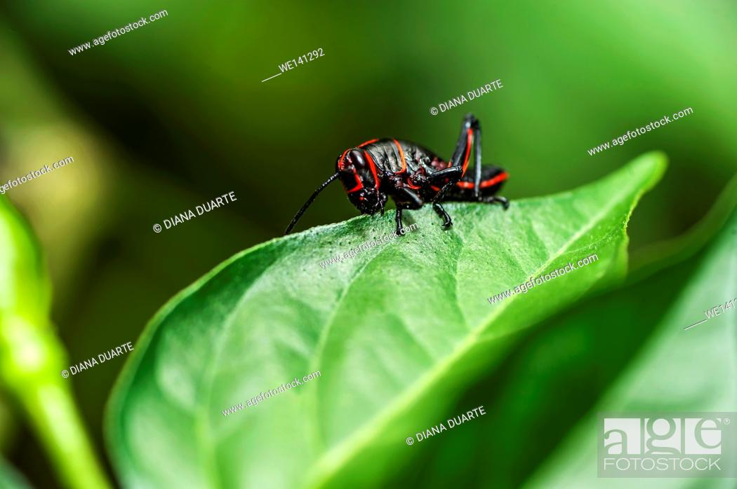 "Stock Photo: """"""""""Young Lubber Grasshopper"""" (Romalea microptera), While in the small nymph stage, it is wingless and completely black with one or more red stripes."