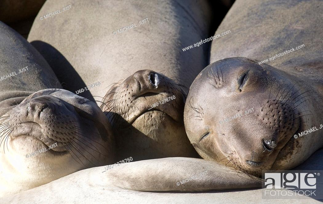 Stock Photo: Three elephant seals sleep together on a beach at Ano Nuevo State Natural reserve in California along the Pacicic Ocean.