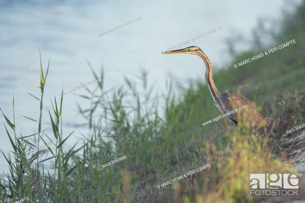 Imagen: Purple Heron hunting on Deltebre, catalonia.