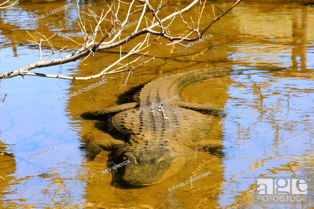 Stock Photo: American Alligator (Alligator mississippiensis). underwater - Buenos Aires Zoo, Argentina, South America.