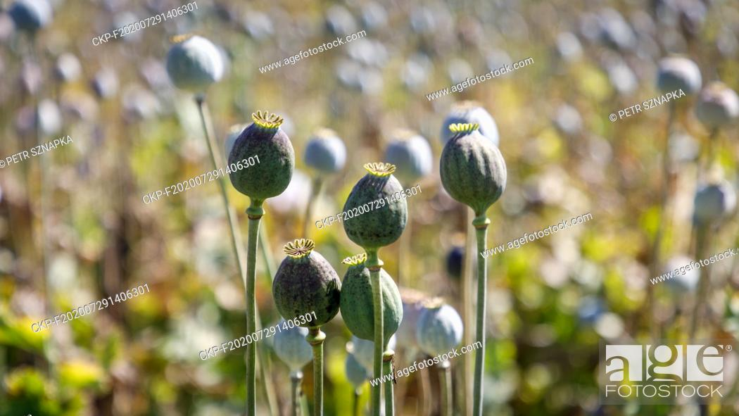 Imagen: Opium poppy (Papaver somniferum) field in Sedlistka near Svitavy, Czech Republic, June 28, 2020. (CTK Photo/Petr Sznapka).