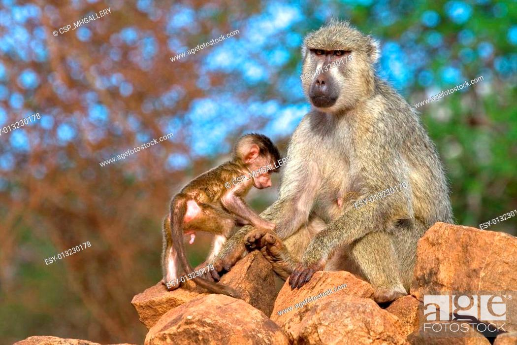 Stock Photo: Yellow baboon mother and infant.