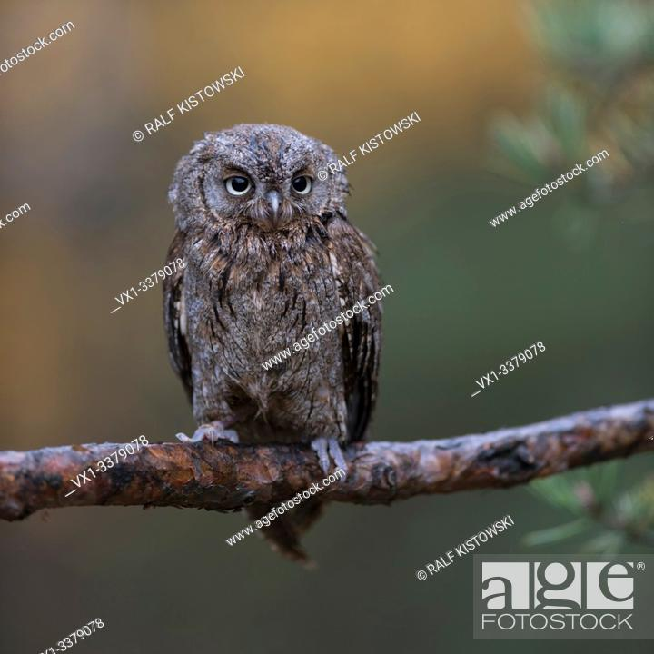 Stock Photo: Scops Owl / Zwergohreule ( Otus scops ), perched on a branch of a pine tree, nice clean background, funny little bird, Europe.
