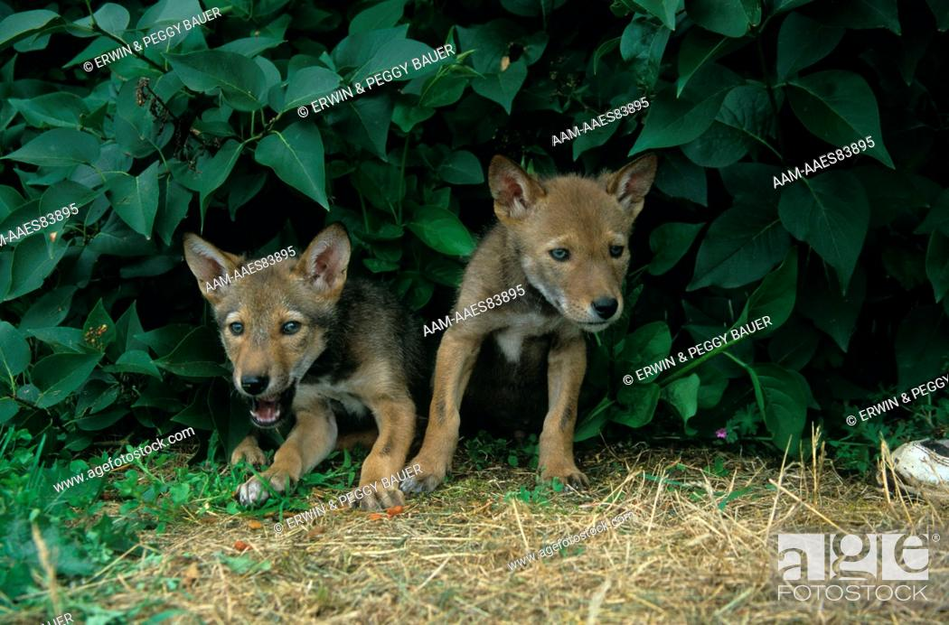 Stock Photo: Red Wolf Pups (Canis rufus) reintroduced in s.e. USA.