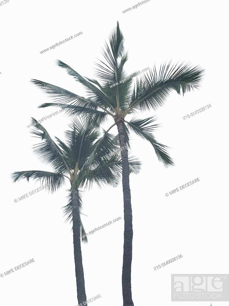 Stock Photo: Palm Trees.