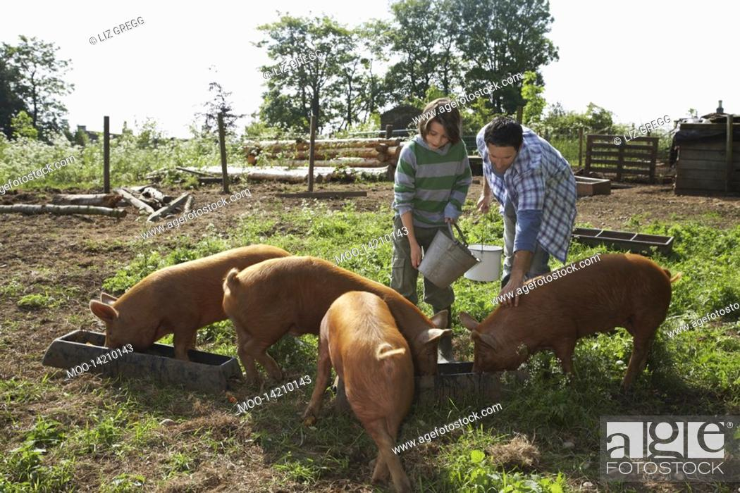 Stock Photo: Father and son 7-9 feeding pigs in sty.