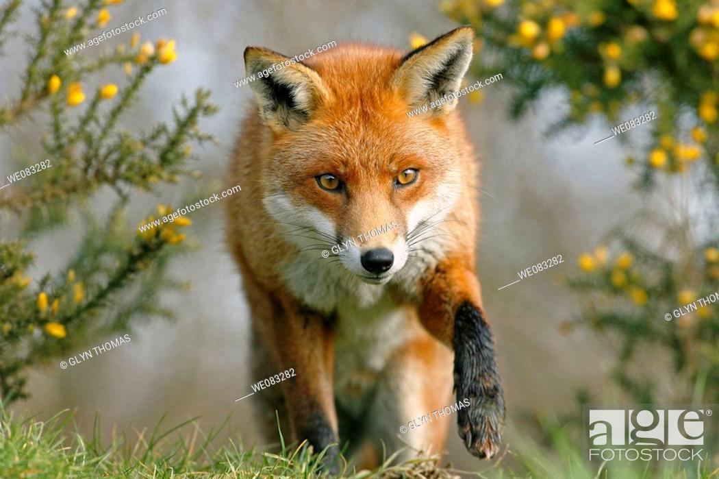 Stock Photo: Red fox vulpes vulpes stalking prey.