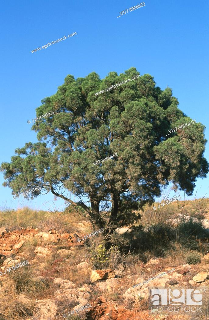 Stock Photo: Araar, arar or sandarac (Tetraclinis articulata or Thuja articulata) is a small tree endemic to west Mediterranean region (Atlas mountains.