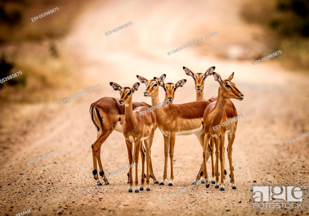 Stock Photo: A starring group of female Impalas in the middle of the road in the Kruger National Park, South Africa.