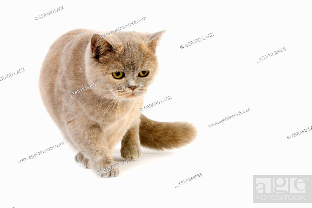 Stock Photo: BLUE CREAM BRITISH SHORTHAIR DOMESTIC CAT, FEMALE AGAINST WHITE BACKGROUND.