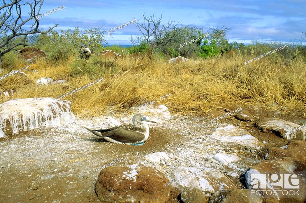 Stock Photo: Adult blue-footed booby Sula nebouxii incubating two eggs inside a ring of guano, North Seymour Island, Galapagos Islands, Ecuador.