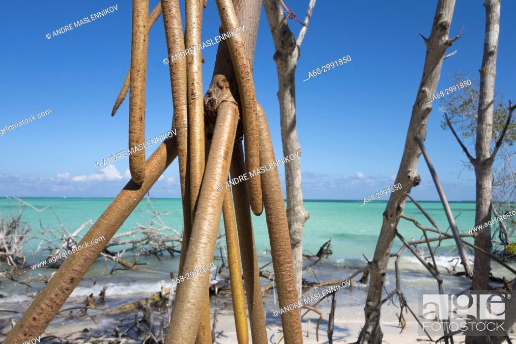 Stock Photo: Damaged mangrove trees on the beach, Cayo Levisa, Pinar del Río Province, Cuba. The coral reef outside is dead. Beach erosion.