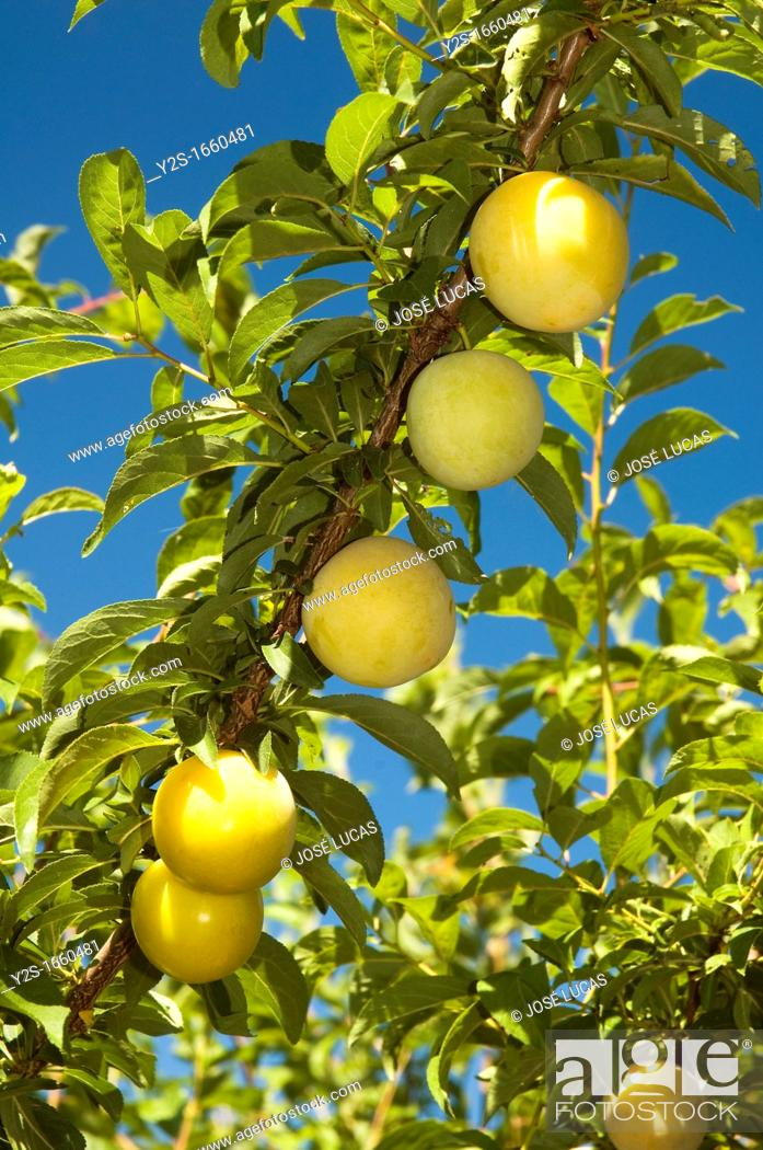 Stock Photo: Plum tree - fruits, Brenes, Seville-province, Region of Andalusia, Spain, Europe.