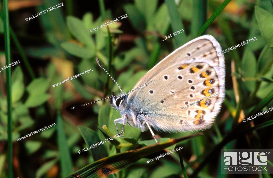 Stock Photo: Butterfly (Lysandra coridon). La Vanoise, Francia.