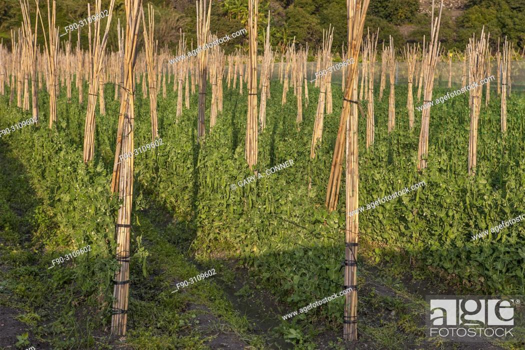 Imagen: Rows of staked climbing beans, Salobreña, Granada, Spain.