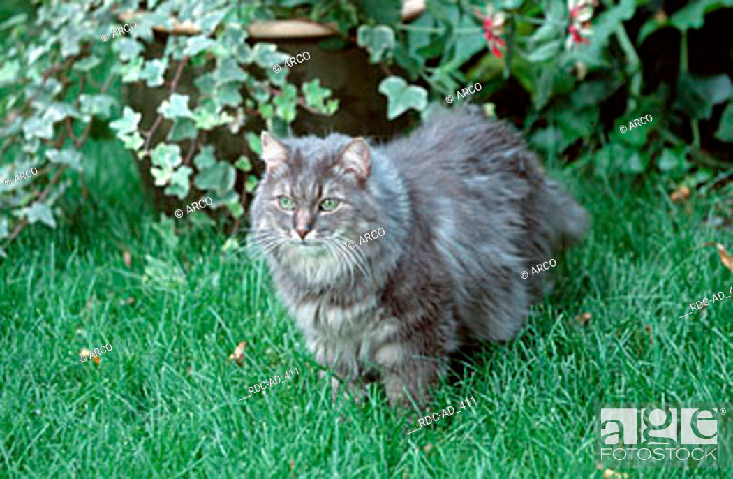 Norwegian Forest Cat Blue Silver Tabby Classic Stock Photo Picture And Rights Managed Image Pic Rdc Ad 411 Agefotostock