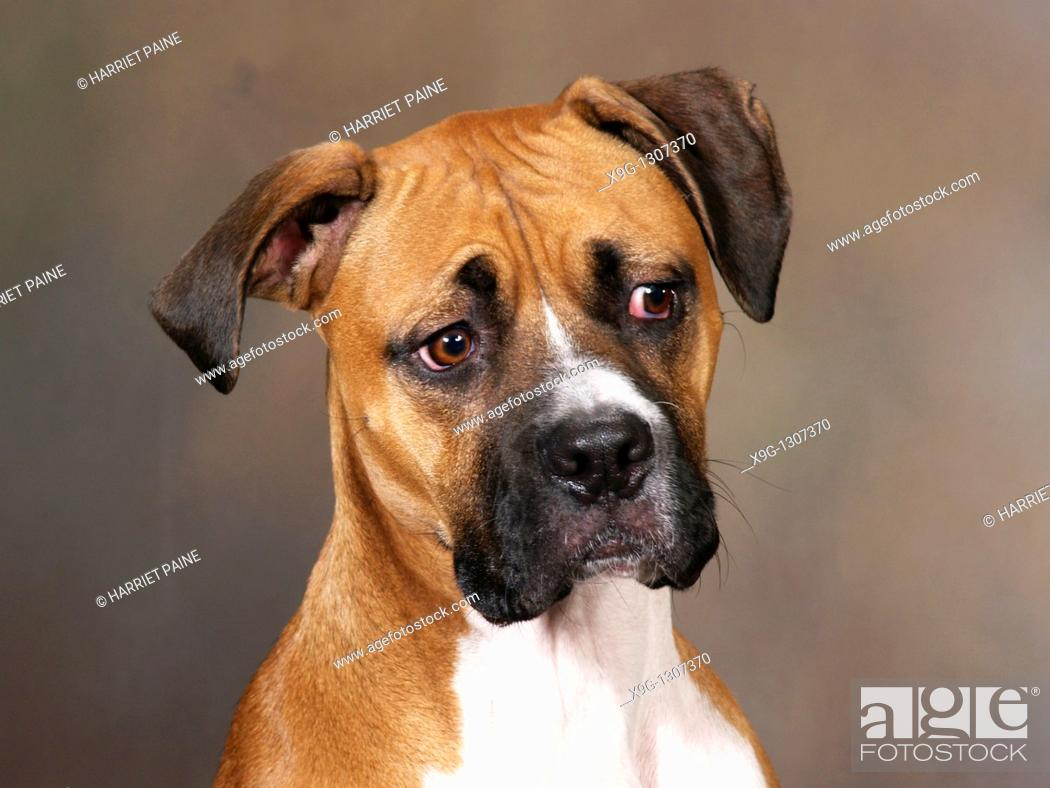 Stock Photo: Boxer: breed of dog.