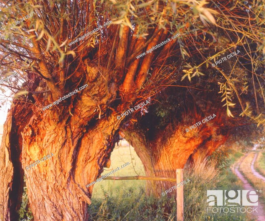 Stock Photo: Old willow trees painted red by the sunset. Poland.