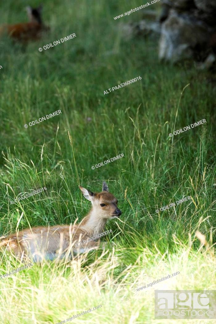 Stock Photo: Fawn lying down in grass.