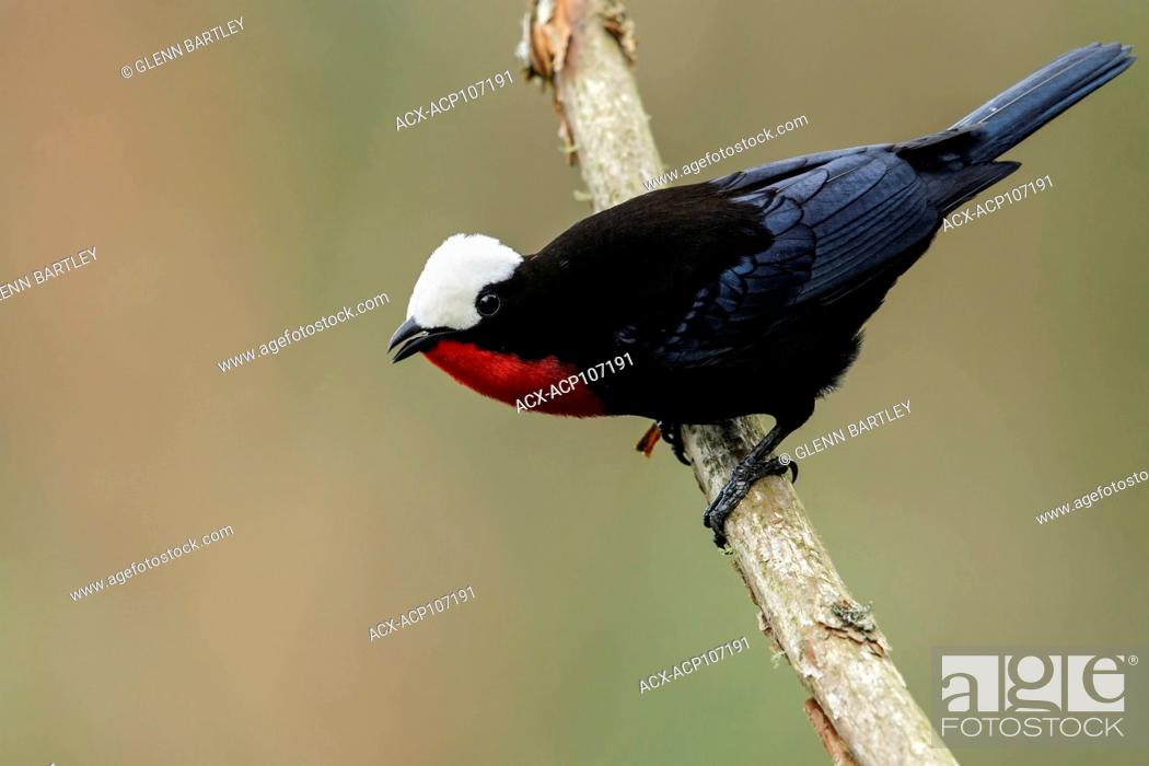 Photo de stock: White-capped Tanager (Sericossypha albocristata) perched on a branch in the mountains of Colombia, South America.