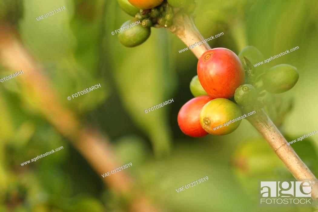 Stock Photo: cultivated, natural, tree.