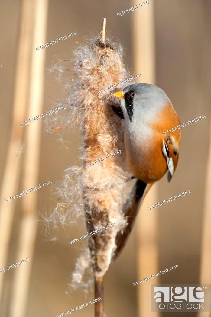 Stock Photo: Bearded Reedling / Bearded Tit (Panurus biarmicus) male eating seeds from spike of common bulrush / broadleaf cattail (Typha latifolia) in reed bed in winter.