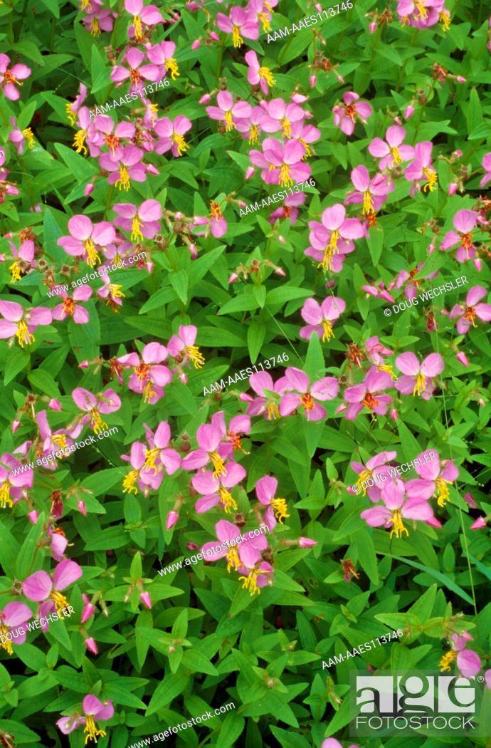 Stock Photo: Virginia Meadow Beauty (Rhexia virginica) growin in dry vernal pond, Blackbird SF, DE.